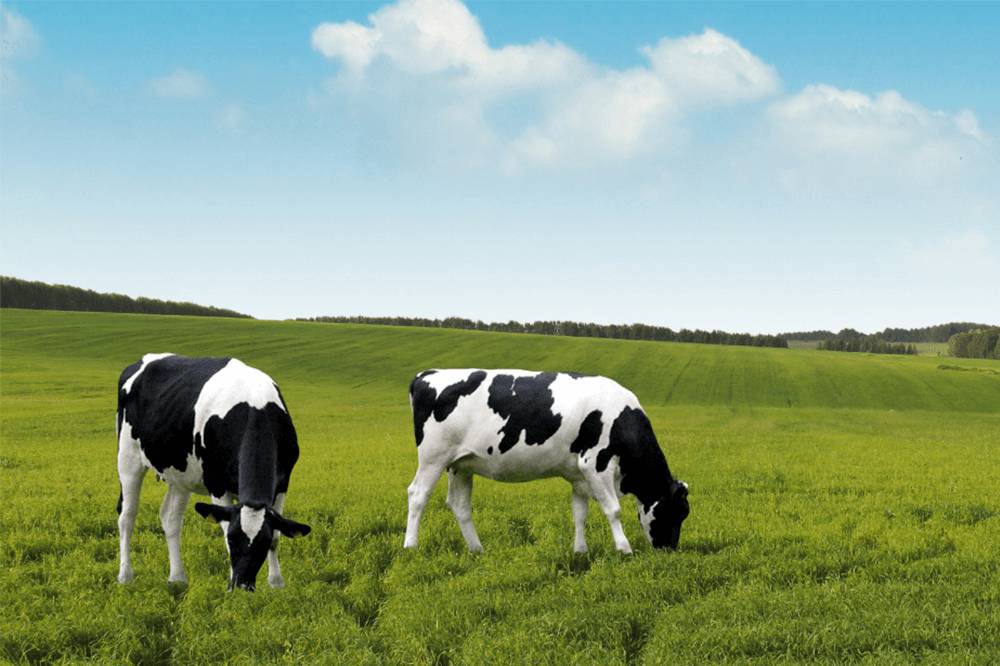 dairy cows grazing on a green field