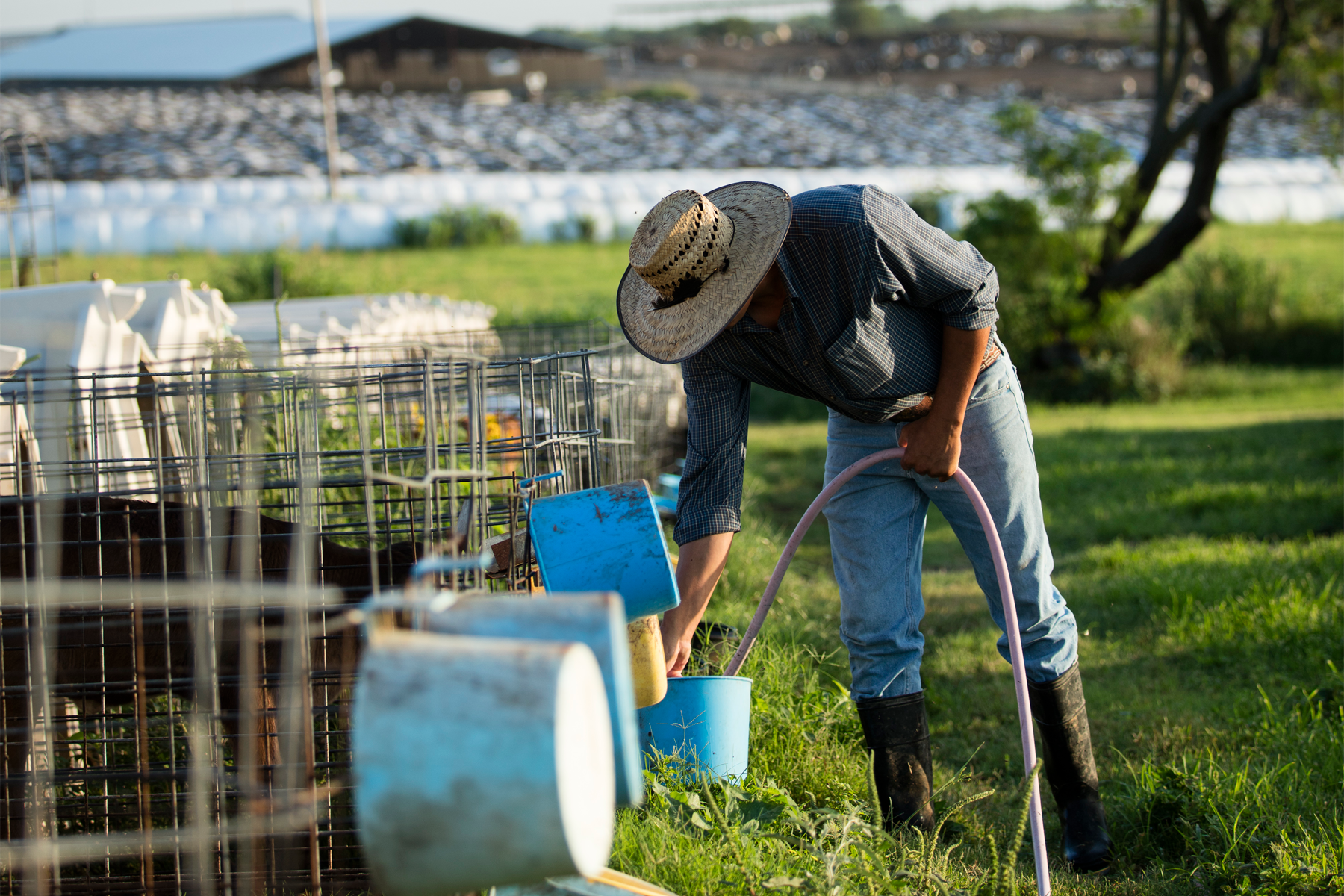 Calf hutches can be a major source of flies on dairy farms, and implementing proper bedding management practices can help reduce flies around calf hutches.