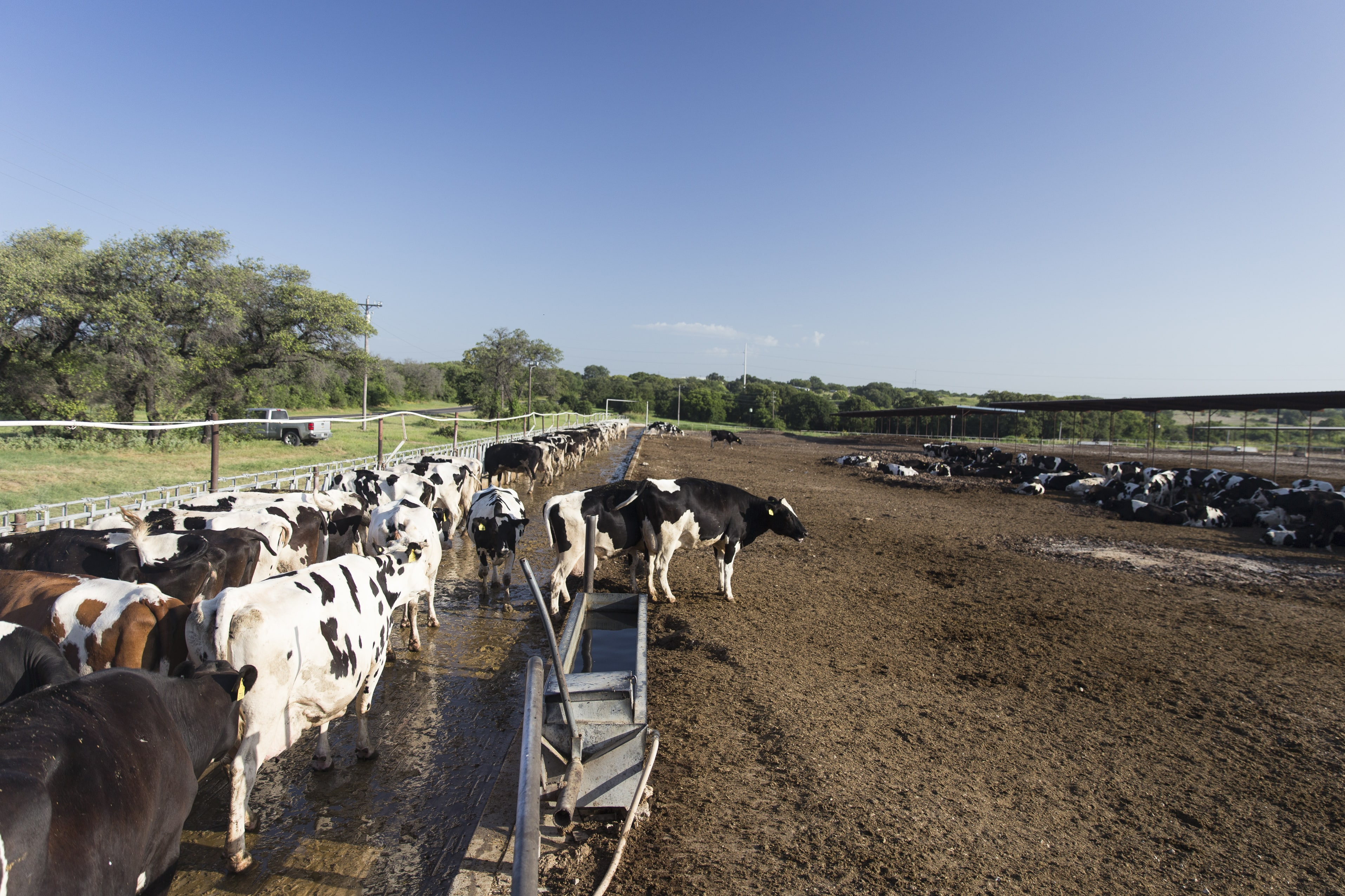 Proper Manure Management Key to Fly Control on Dairies