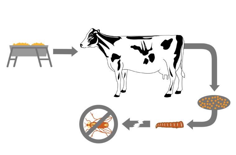 This diagram outlines how feed-through fly control products work on dairy cows. Fly control for cattle takes place in the manure, where flies breed.